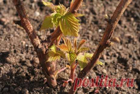 Как весной обрезать малину Чтобы кусты малины были здоровыми и смогли дать хороший урожай, весной следует проводить тщательную обработку растений.