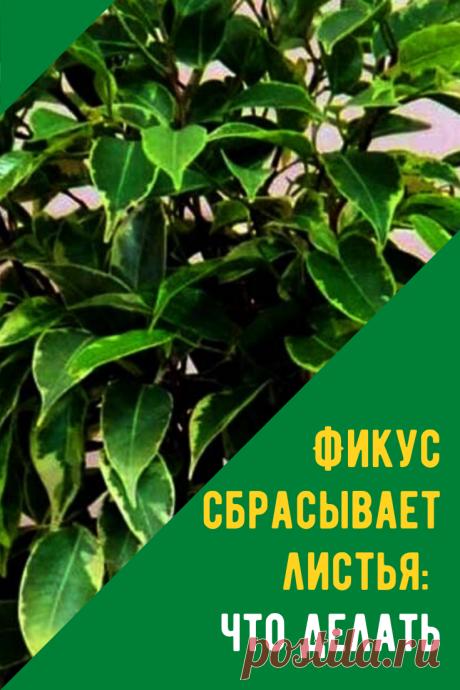 Фикус сбрасывает листья, причина и что делать. Ведь стрессовое состояние, спровоцированное развитием болезней, становится источником патологии.