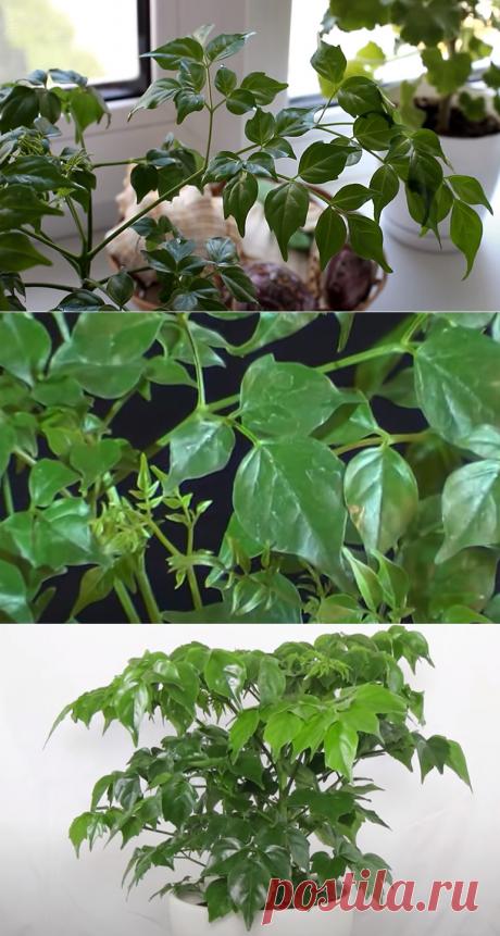 Радермахера китайская: что это за комнатное растение такое?