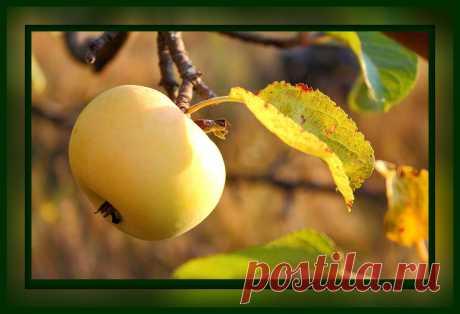 Обязательный уход за яблоней в сентябре и октябре
