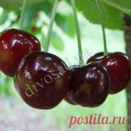 Как защитить плоды вишни и черешни от вишневой мухи?