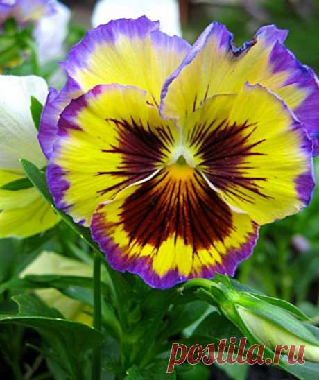 Виола Виттрока (Viola x wittrockiana)