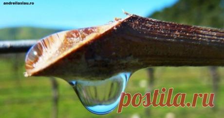 ″Слезы″ виноградной лозы – отличное лекарство! Вот от чего  Чудесное средство.