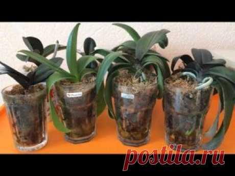 Реанимация орхидей Часть 5. ОТЛИЧНЫЕ РЕЗУЛЬТАТЫ! После пересадки орхидеи перестали быть реанимашками