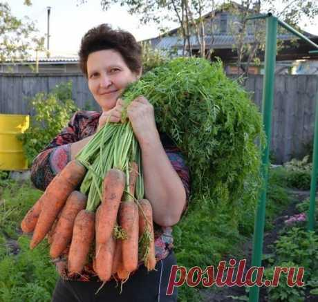 Готовы к такому урожаю? Нужно сеять морковь следующим образом  Я морковь сею следующим образом. Морковь любит глубоко возделанную плодородную почву. Не прореживаю, почти.  Поступаю следующим образом:  За 10-12 дней до посева семена моркови завязываем в тряпочку …