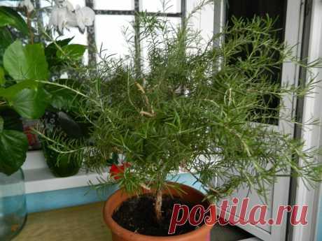Как я выращиваю лаванду и розмарин в сибирском саду   Дачный дневник пенсионерки   Яндекс Дзен