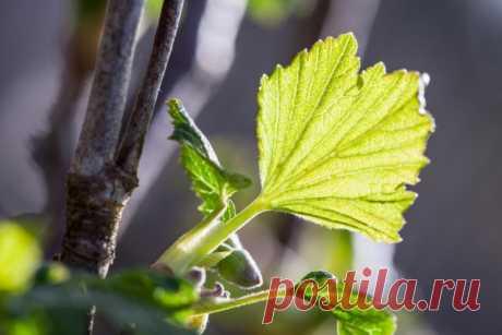 Зеленое черенкование – самый простой способ размножить ягодные кустарники | Уход за садом (Огород.ru)