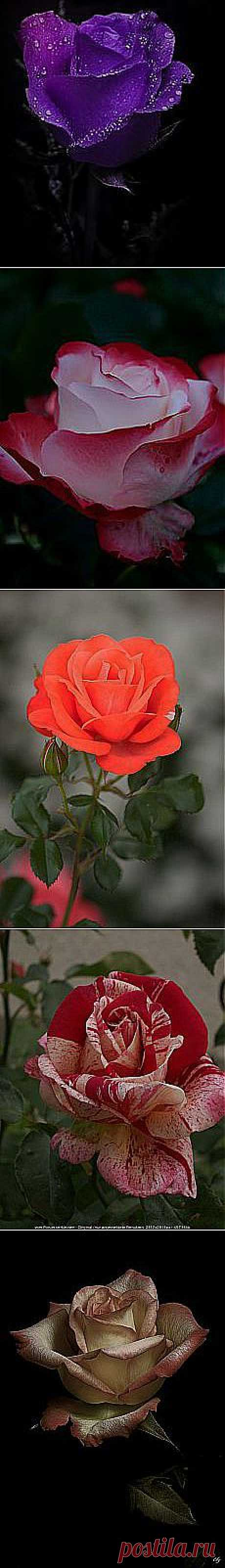 Курякова Наталья: розы | Постила