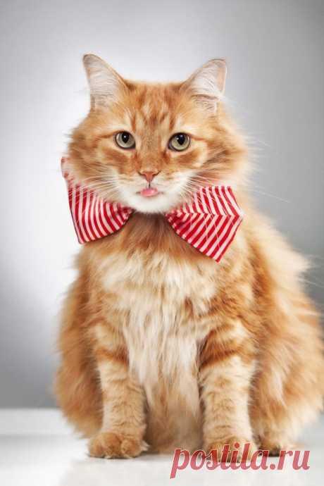 Как сделать ошейник для кота своими руками - мастер-класс с фото Котики тоже хотят быть джентельменами, поэтому им просто необходим самодельный ошейник-бабочка, который достаточно просто сделать самостоятельно.