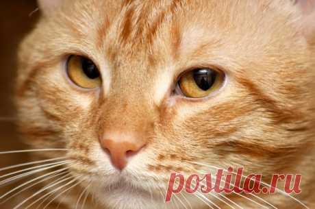 El gato Merlin murchit más fuertemente sobre el planeta – por lo menos, afirma así el libro de los récords de Guinnes. Contamos que hace a las gatas ronronear en general.