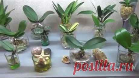 Орхидеи в воде. Моя коллекция.Часть 1.
