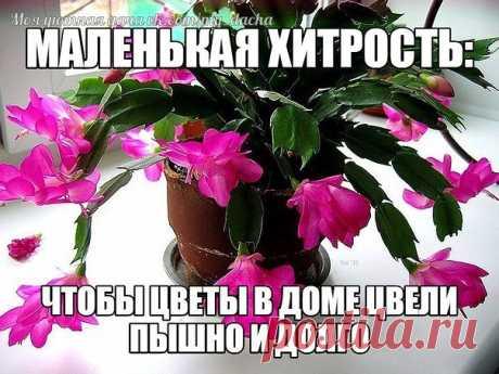 МАЛЕНЬКАЯ ХИТРОСТЬ: ЧТОБЫ ЦВЕТЫ В ДОМЕ ЦВЕЛИ ПЫШНО И ДОЛГО! Давно ли Ваш любимый цветок цвел, как в магазине цветов, не помните? Вот и я уже почти позабыла. Вроде и подкармливаю его, а он все не радует пышным цветением.  Маленькая хитрость: чтобы цветы в доме цвели пышно и долго! Но вот недавно зашла в гости к подруге, а у неё цветы просто загляденье, все цветут, как на подбор. Как же так? Оказывается есть одна маленькая хитрость, для того чтобы цветок цвел пышно и долго н...
