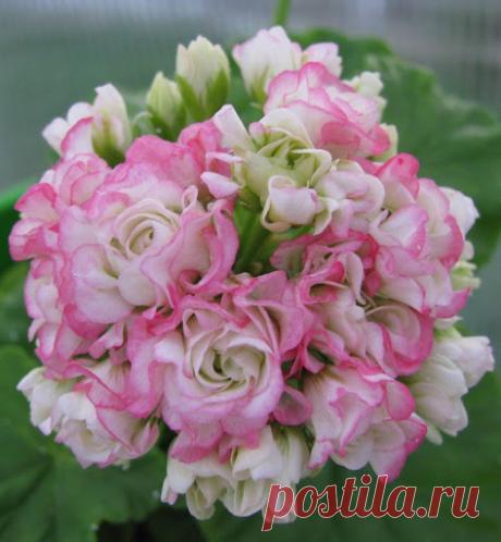 Розебудные пеларгонии