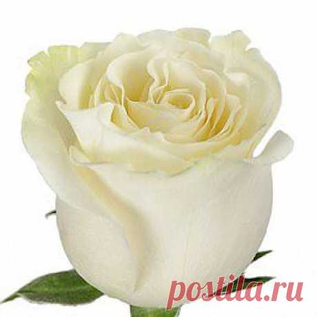 Mondial - Розы белые - Розы