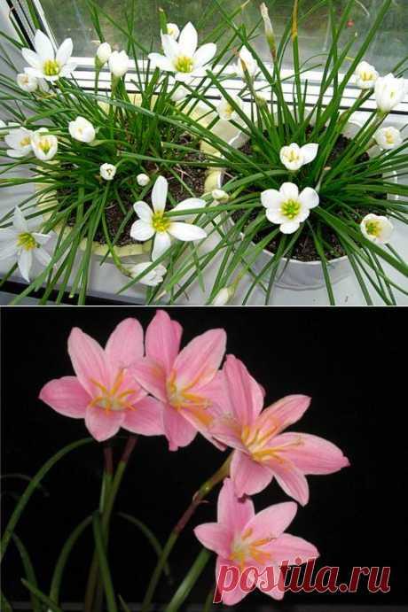 Выскочка. (Зефирантес), выскочка - комнатные растения и цветы