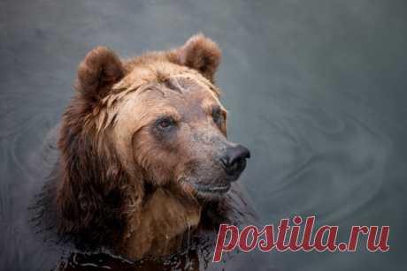 «Поплаваем?» Бурый медведь (Ursus arctos) в кадре Ольги Четверговой: nat-geo.ru/community/user/214104