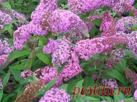 Кустарники цветущие все лето: список. Описание и фото цветущих кустарников | LS