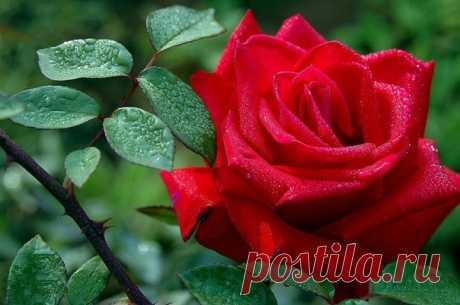 Вмесmо mого, чmобы жаловаmься на шuпы у розы, я радуюсь mому, чmо средu шunов растеm роза.  Жозеф Жубер