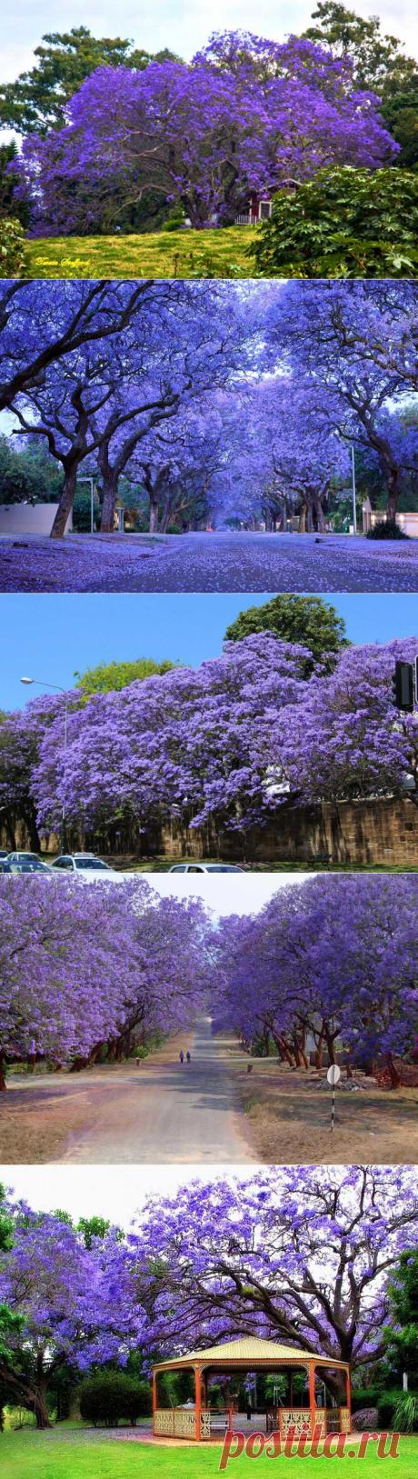 Жакаранда - род цветущих деревьев из семейства бигнониевых, включающий в себя 50 видов растений. Свое другое название - фиалковое дерево - она получила благодаря сиренево-фиолетовым оттенкам цветков и нежному медовому аромату.