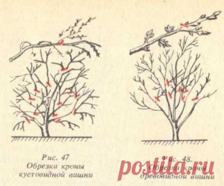 Правила обрезки вишни и сливы | Дача - впрок