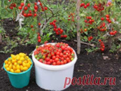 Популярные сорта томатов черри Томаты черри – невероятно симпатичные и очень вкусные миниатюрные помидорки, внешне чем-то похожие на крупные вишенки (отсюда, собственно говоря, и их звучное название). Когда-то в наших краях они считались самой настоящей диковинкой, а сейчас такие томаты пробуют вырастить все больше и больше дачников, и, надо заметить, у них это отлично получается! И, само собой разумеется, многие огородники уже давным-давно определились с любимыми сортами ...