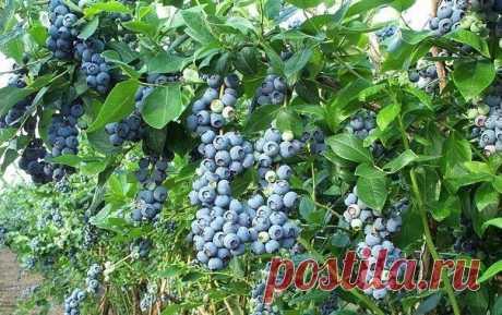 """ГОЛУБИКА НОРТЛАНД Купить можно в нашем интернет-магазине: Голубика """"Нортланд"""" считается сортом, максимально устойчивым к зимним морозам. Поэтому этот вид голубики — настоящая находка для северного огорода. Сорт """"Нортланд"""" — раннеспелый. Полакомиться ягодами можно будет уже в середине июля. Куст невысокий, около 1-1,2 м в высоту, но довольно мощный и раскидистый. Вкус ягод превосходит все ожидания. Кожица не грубая. Спелая голубика очень хорошо хранится и не портится длител..."""
