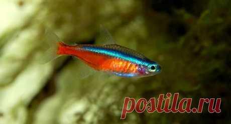Неон – рыба, названная в честь светящейся трубки   Быково-медиа