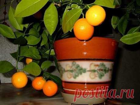 Как вырастить мандарин из косточки в домашних условиях. Для посадки мандарина вам будут необходимы семена, а точнее косточки, которые можно «добыть», приобретя в магазине несколько спелых мандаринов. Для успешности мероприятия лучше, чтобы косточек было побольше (минимум 5-10), так как не все смогут прорасти. Далее необходимо, чтобы косточки проклюнулись или набухли. Для этого кости нужно заверн