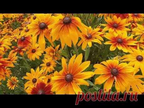 Рудбекии: выращивание и уход за цветами в саду. Посадка, разные виды и сорта