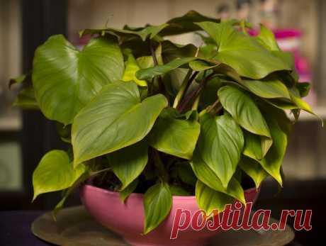 Хомаломена Хомаломена (Homalomena) – тропическое по роду растение, принадлежащее к семейству Ароидных. Его родиной считаются американские и азиатские тропические регионы. Род насчитывает около 150 различных видо...