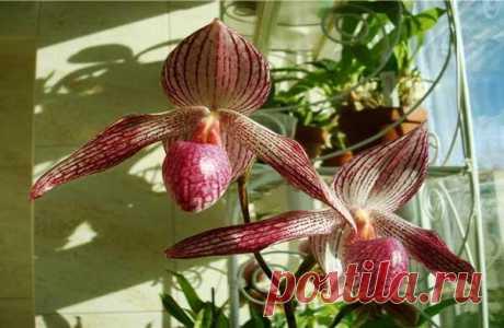 Пафиопедилум: выращивание и уход в домашних условиях Эту орхидею очень легко отличить от множества других ее сородичей. Пафиопедилум получил свое второе и, пожалуй, основное название – «Венерин башмачок» именно благодаря своей необычной внешности чем-то...