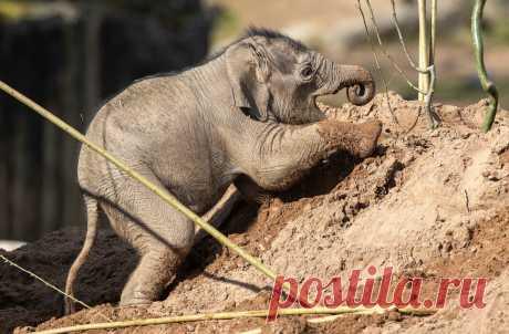 Первые шаги Новорожденный слоненок впервые покинул закрытый вольер и играет в песке неподалеку от своей матери. Честерский зоопарк, Великобритания.