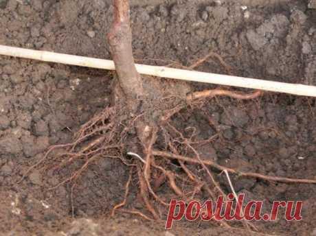 14 важных вопросов о посадке саженцев – отвечает специалист | Уход за садом (Огород.ru)