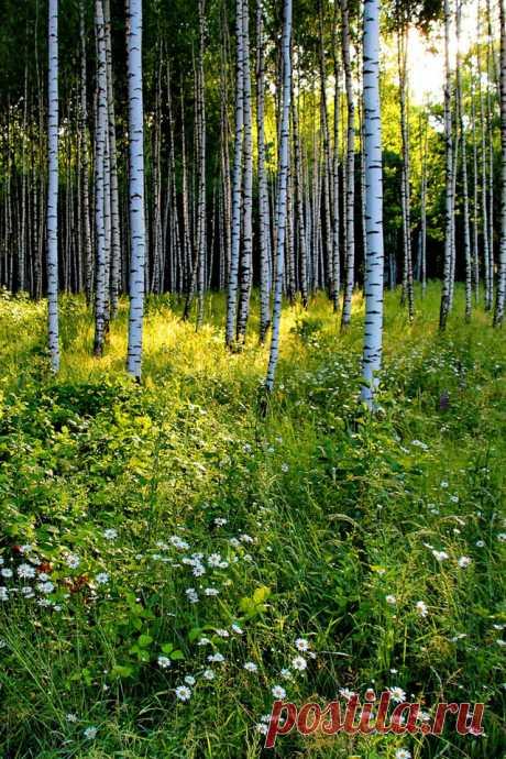 ღОтчего так в России березы шумят, отчего белоствольные все понимают? У дорог, прислонившись по ветру, стоят и листву так печально кидают...  ___________________________