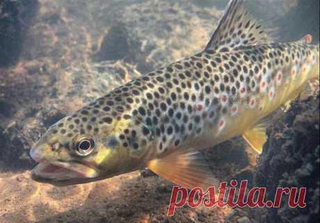 Полный список лососевых рыб: как выглядят и где обитают, фото