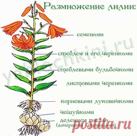 Как вырастить лилии в саду — Делаем руками