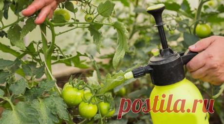 Таблетки трихопола – избавление моих овощных посадок от фитофторы | В моём саду | Яндекс Дзен