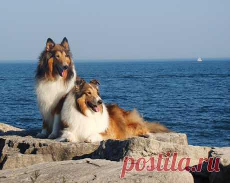 Колли: фото колли. Собака колли или шотландская овчарка: фотографии и описание.