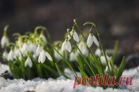 Встречаем весну красиво: самые эффектные виды и сорта подснежников