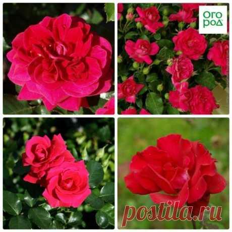 9 лучших сортов роз, цветущих все лето - Садоводка