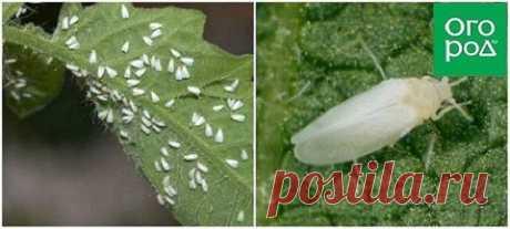 4 опасных вредителя, которые могут оставить вас без картошки и томатов | Люблю Себя