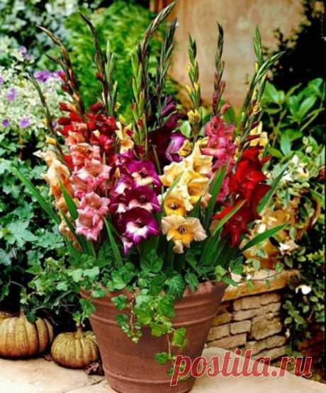 Гладиолусы на балконе: 3 шага выращивания | Obustroeno.Com