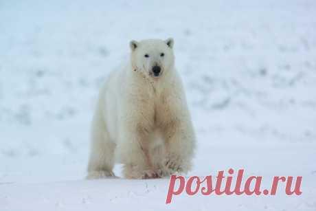 Молодой белый медведь. Чукотка. Автор фото — Максим Деминов: nat-geo.ru/photo/user/48391/