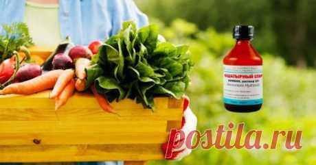 Нашатырный спирт для огурцов и помидоров – применение в огороде: инструкции и отзывы