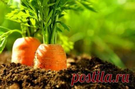 3 признака, что морковь срочно нужно убрать с грядки
