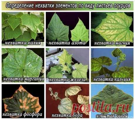 Symptoms of shortage of minerals at cucumbers!