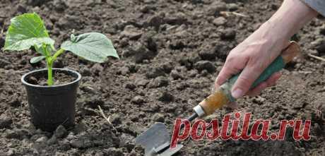 Как вырастить рассаду огурцов и не загубить свои саженцы