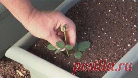 Суперсредство для выращивания роз из черенков  Многие хотят вырастить розы из подаренного букета, да только не всегда черенки пробуждаются и дают корни. Благодаря этому простому средству вы сможете прорастить даже самые захудалые и несвежие черен…