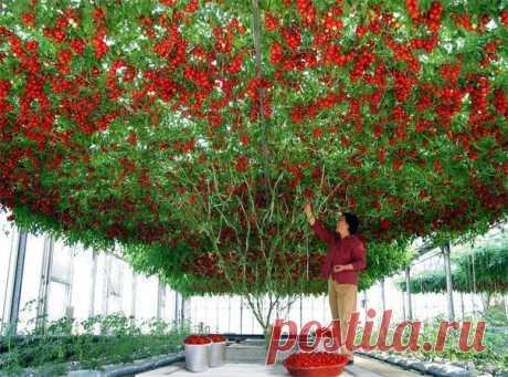 """Чудо-дерево """"Спрут F1"""" или """"Помидорное дерево"""". Вырастает до 4 м и выше. Рекордный урожай - 14 000 томатов, общим весом 1 500 кг!"""