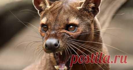 Фосса — необычная кошка и главный хищник на Мадагаскаре Фоссы похожи на нечто среднее между кошкой, собакой и мангустом. У стройных мускулистых фоссов маленькие кошачьи головы, короткие собачьи морды и большие округлые уши. Длина тела фоссы 65-85 см (с хвостом в два раза больше). Весит этот котик от 6 до 11 кг Главный хищник Мадагаскара охотится как...